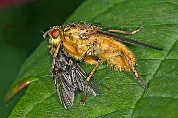 Навозные мухи — википедия