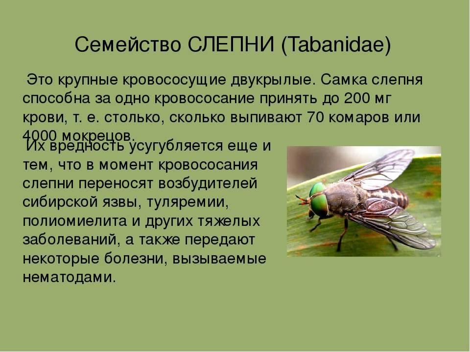 Слепень, или летний нарушитель спокойствия: описание, виды, интересные детали жизни и вред