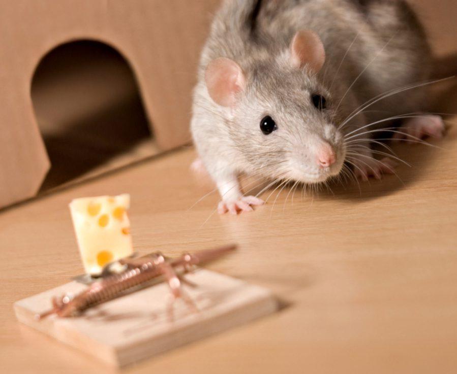 Что можно давать крысам, а что нельзя: таблица питания