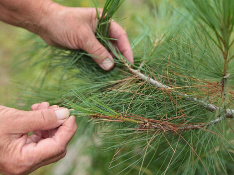 Борьба с сосновым пилильщиком: как избавиться от гусениц на сосне