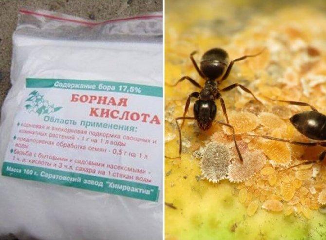 Как избавиться от красных муравьев в квартире и доме
