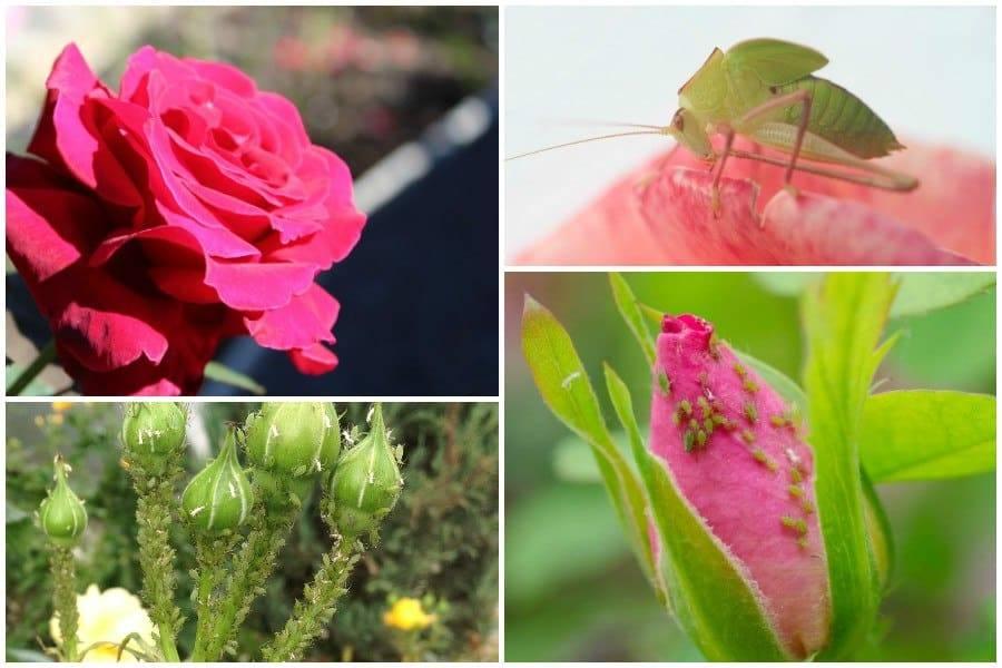 Как избавиться от тли на розах: 4 способа