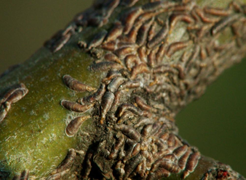 Щитовка и ложнощитовка. описание, профилактика и методы борьбы со щитовкой
