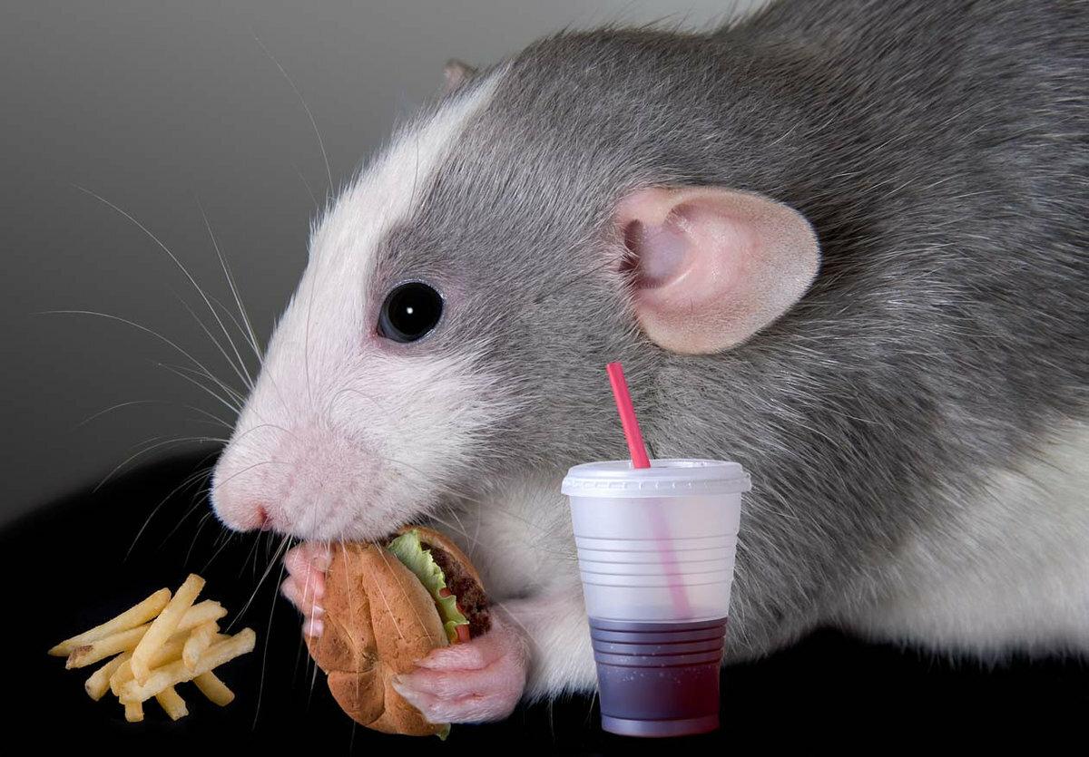 Что можно давать крысам, а что нельзя: таблица питания - kotiko.ru