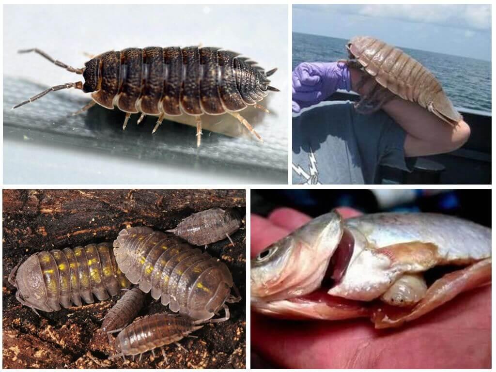 Мокрица: фото насекомого крупным планом, сколько у него ног, а также каков размер тела, какие виды обитают в квартире? русский фермер