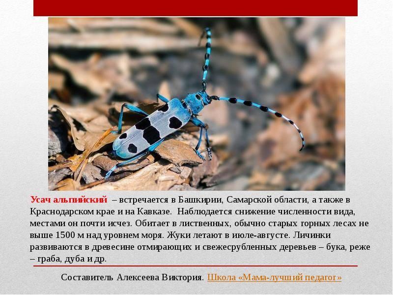 Альпийский усач – насекомое, занесенное в красную книгу