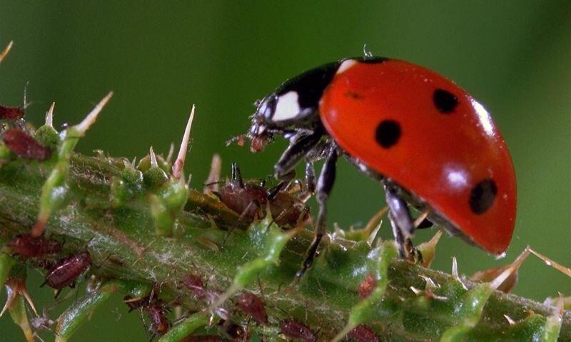 Божья коровка и тля: тип взаимоотношений и пример, а также кто кого ест из этих насекомых и что поедают личинки?дача эксперт