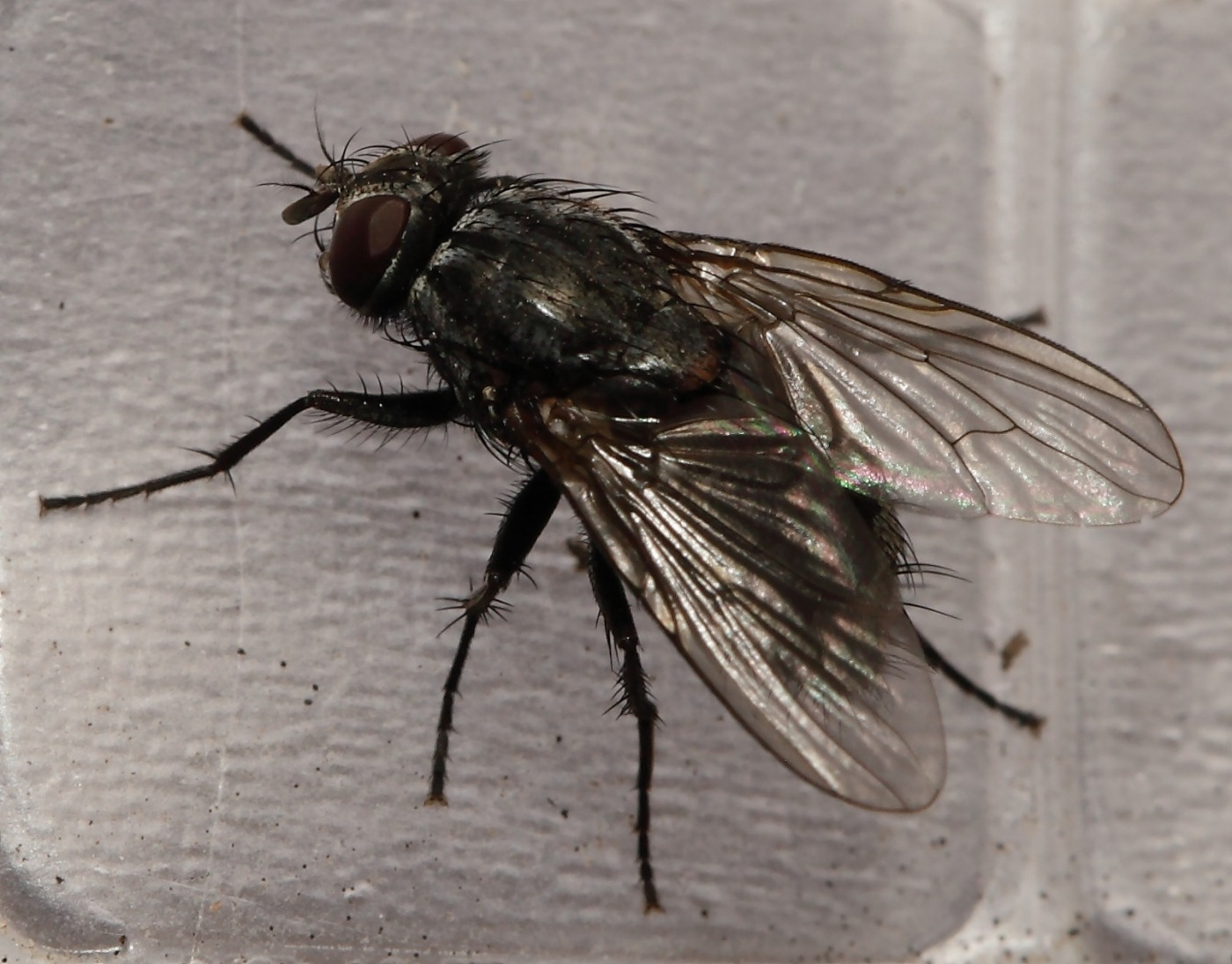 Полосатая муха похожая на осу: название, фото и описание
