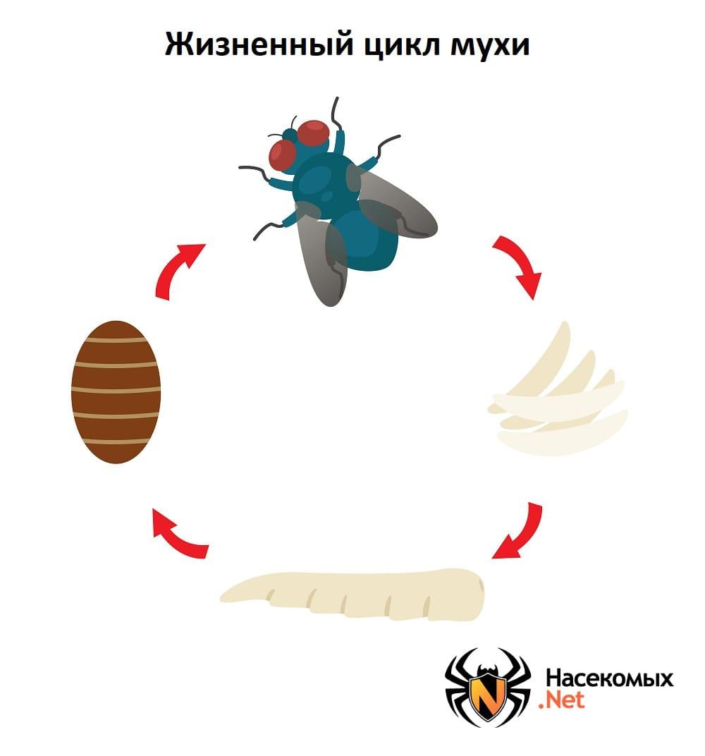 Сколько живут насекомые как пчела, муравей, муха и другие классы членистоногих