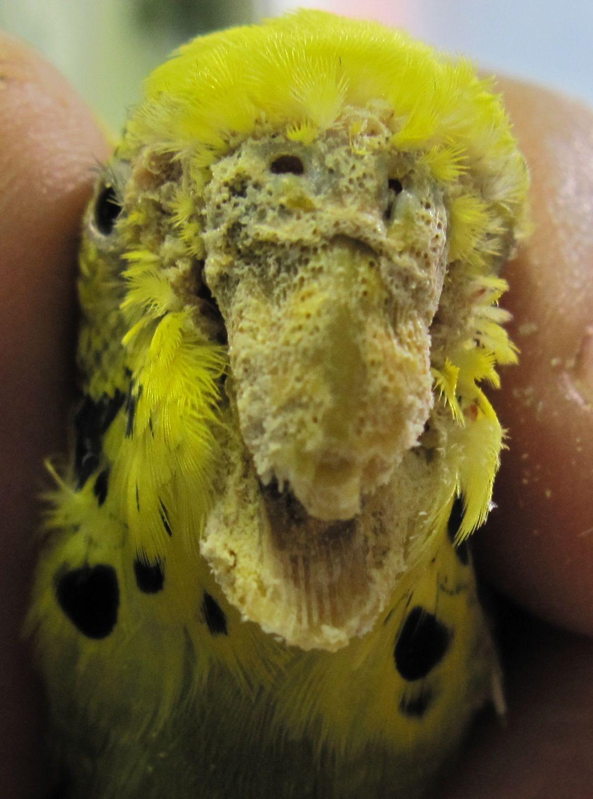 ❶ клещи у волнистого попугая - симптомы и лечение в домашних условиях