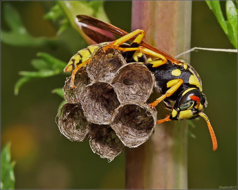 Основные отличия благородной пчелы и осы