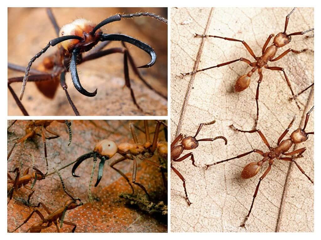 Муравьи убийцы - самые опасные муравьи в мире