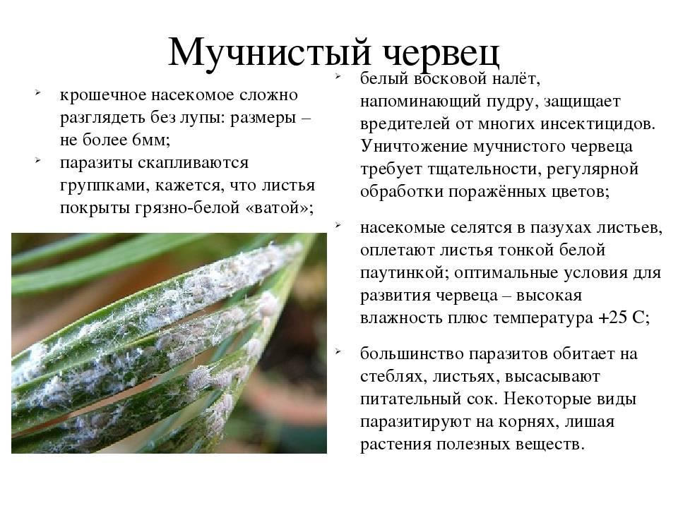 Мучнистый червец на комнатных растениях
