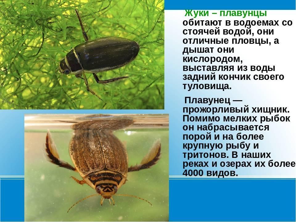 Плавунец хищное насекомое описание