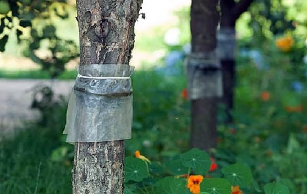 ✅ как сделать ловчий пояс для плодовых деревьев своими руками от муравьев и тли - tehnomir32.ru