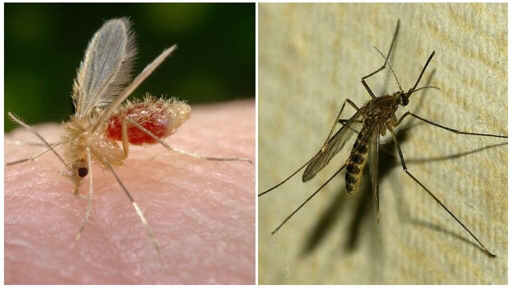 Описание и фото комаров разных видов