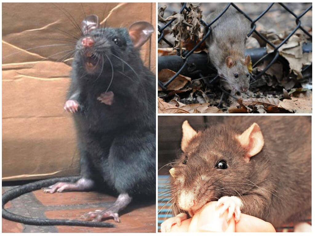 Вид грызуна - серая крыса