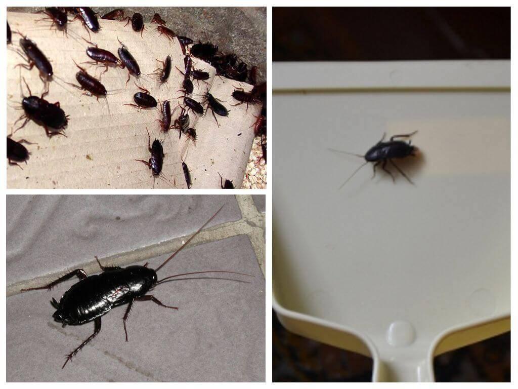 Черные тараканы в квартире: как избавиться, откуда берутся, народные средства