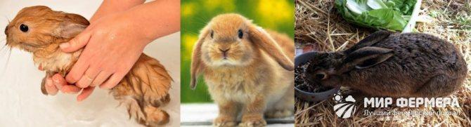 Блохи у кроликов: обзор лучших средств и лечение народными методами. как вывести блох у декоративного кролика