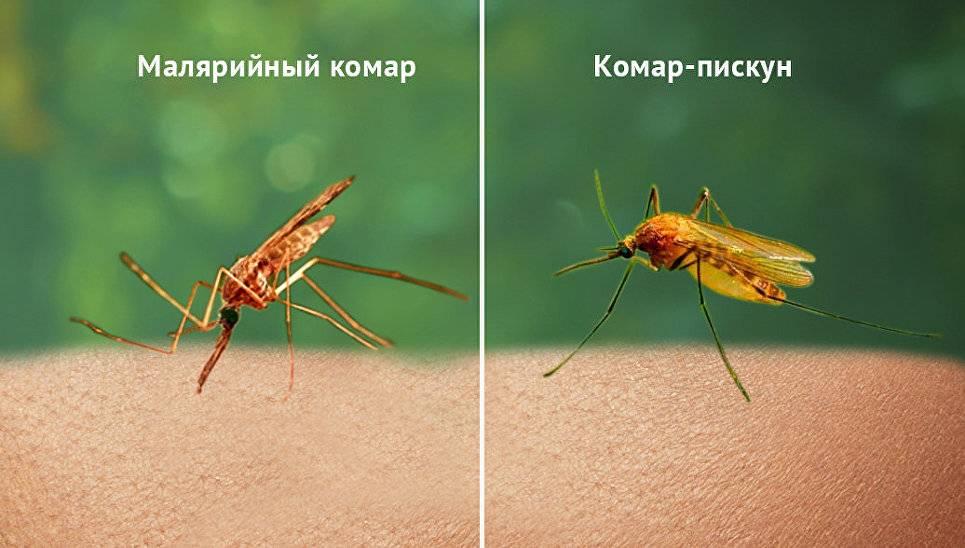 Чем отличаются москиты от комаров. основные сведения о тропических комарах чем опасны москиты