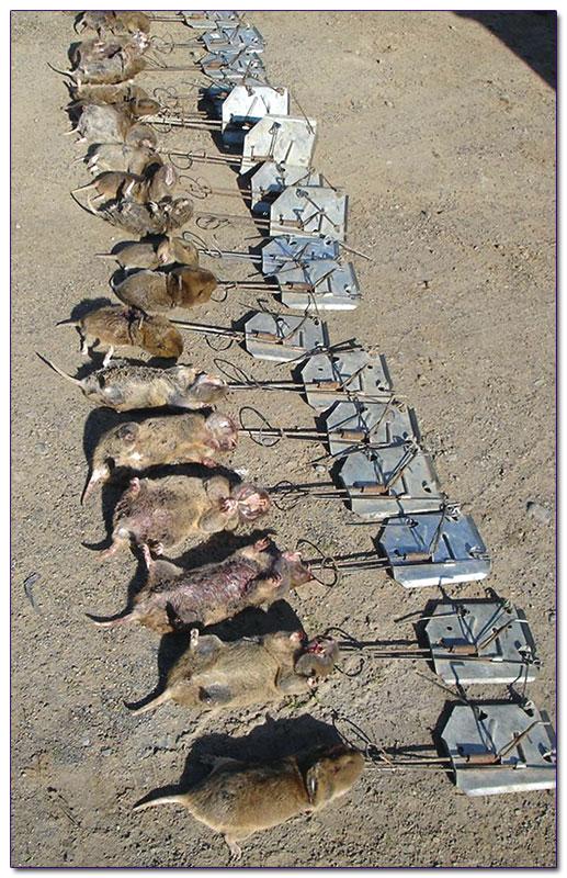 Как избавиться от земляной крысы? / асиенда.ру
