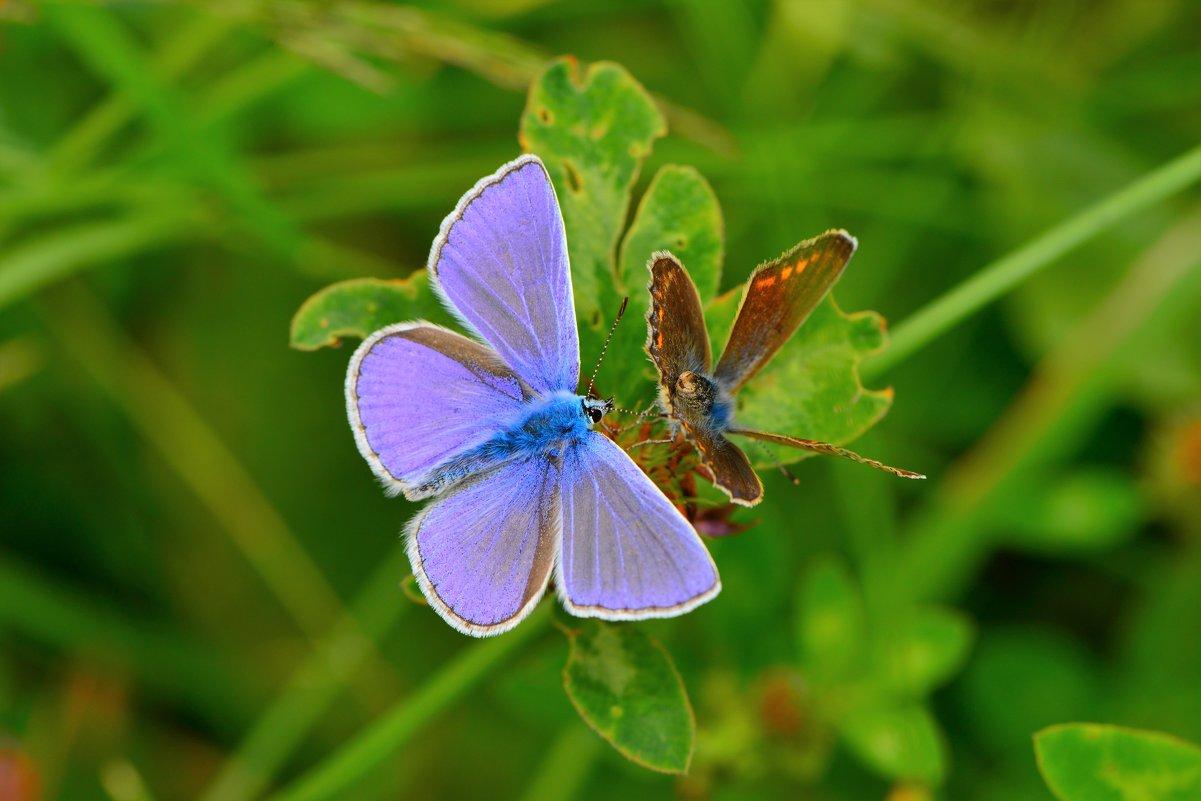 Факты о бабочке голубянка аргус – крепкая дружба с муравьями