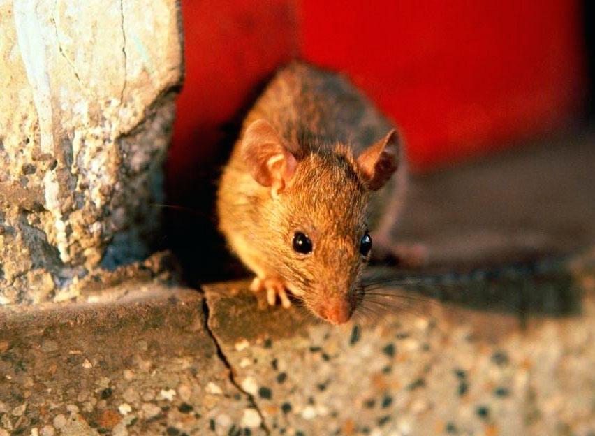 Земмифобия и сурифобия: признаки боязни крыс и мышей, способы лечения