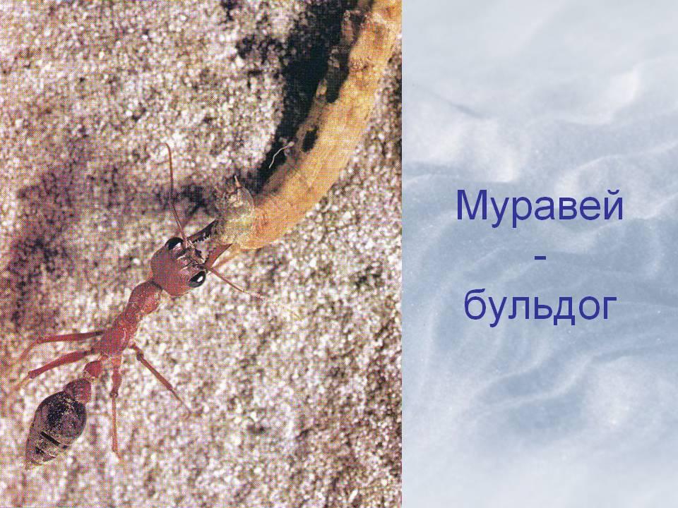Муравьи бульдоги: описание и фото.