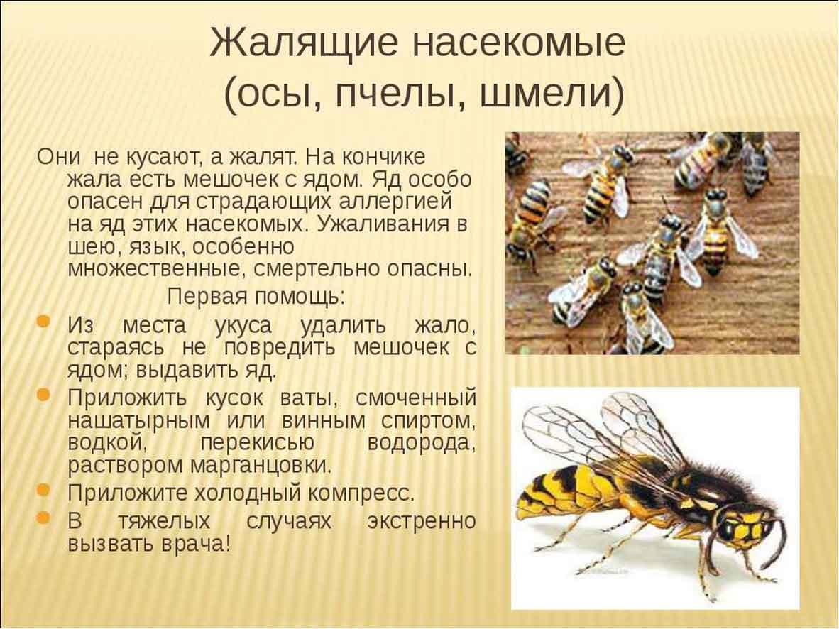 Оса, пчела, шмель, шершень: отличия