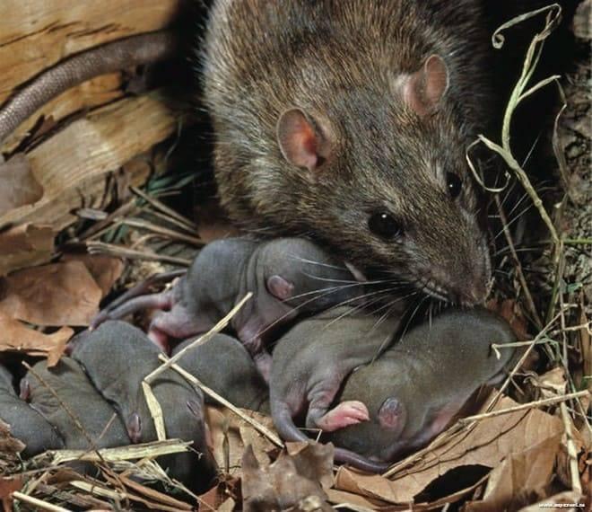 Мышь это животное: какие разновидности бывают, как выглядит?