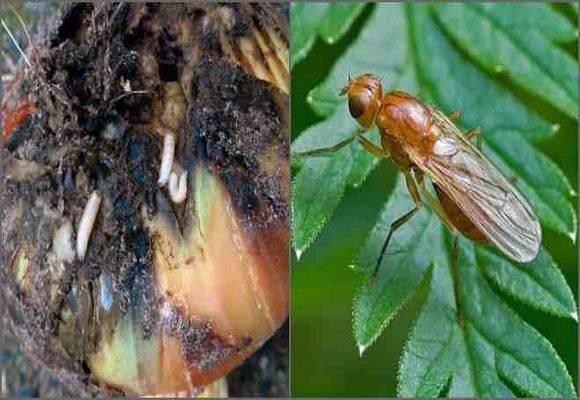 Луковая муха: как от нее избавиться, как бороться на грядке, при какой температуре гибнут мошки, и методы борьбы нашатырным спиртом и иными народными средствами