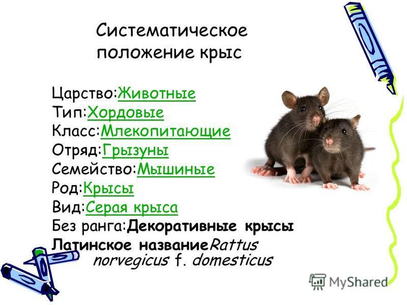 Декоративные крысы: 105 фото крыс, их разновидности и особенности ухода