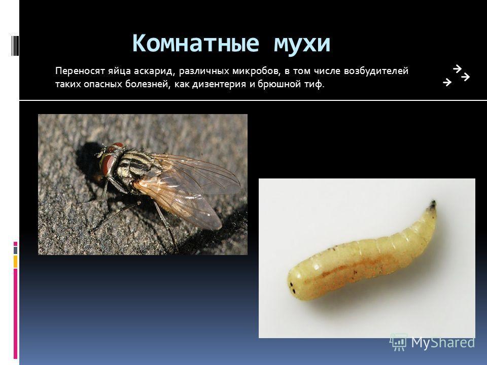 Мухи и другие вредители дыни: описание и методы обработки