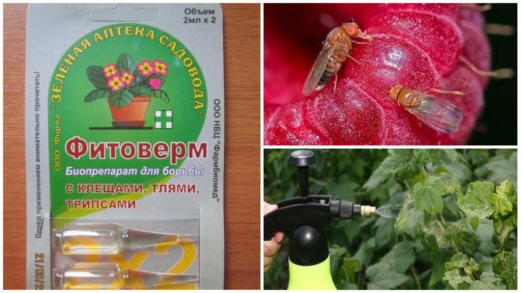 Методы борьбы с вишневой мухой, сроки обработки вишни и черешни от нее, препараты и ловушки
