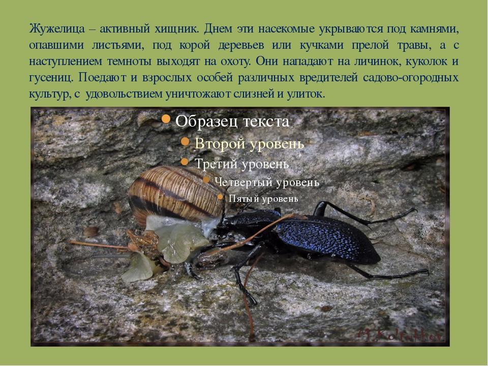 Жужелицы - взгляд любителя (очерк а.л.лобанова по материалам работ о.л.крыжановского)