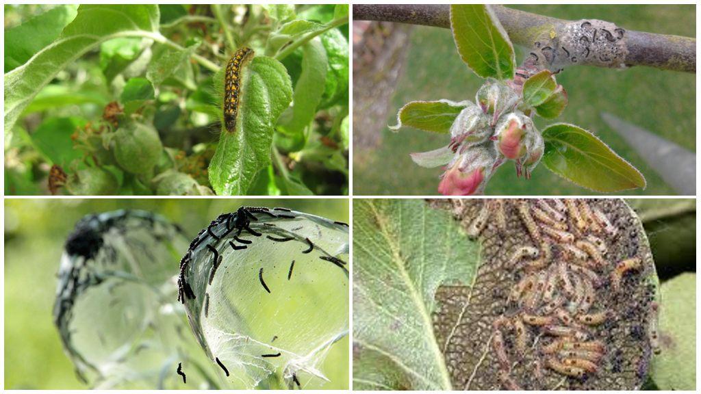 Чем обработать смородину от тли в период активного плодоношения