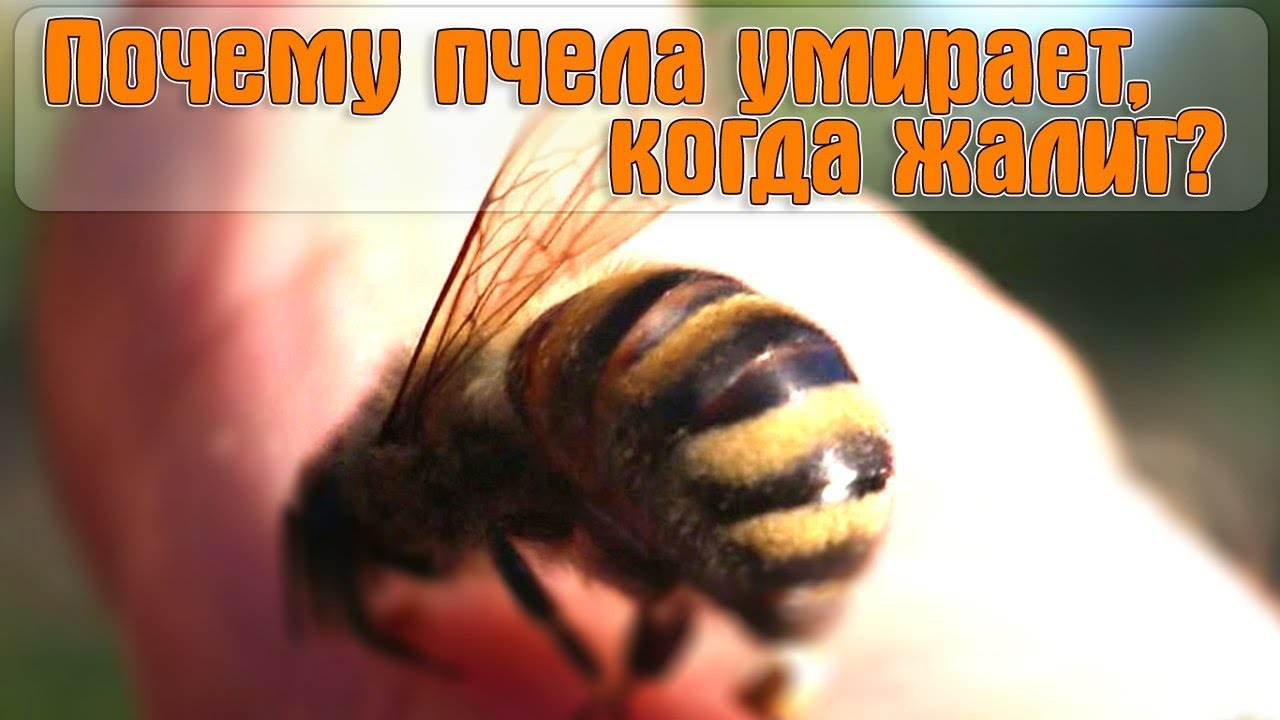 Кто оставляет жало после укуса и почему пчела умирает после того, как ужалит