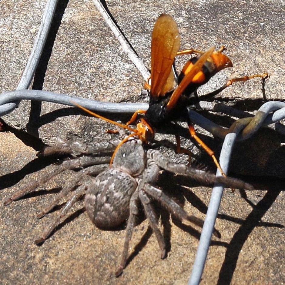 Как выглядит паразитические осы-наездники и представляют ли опасность для людей