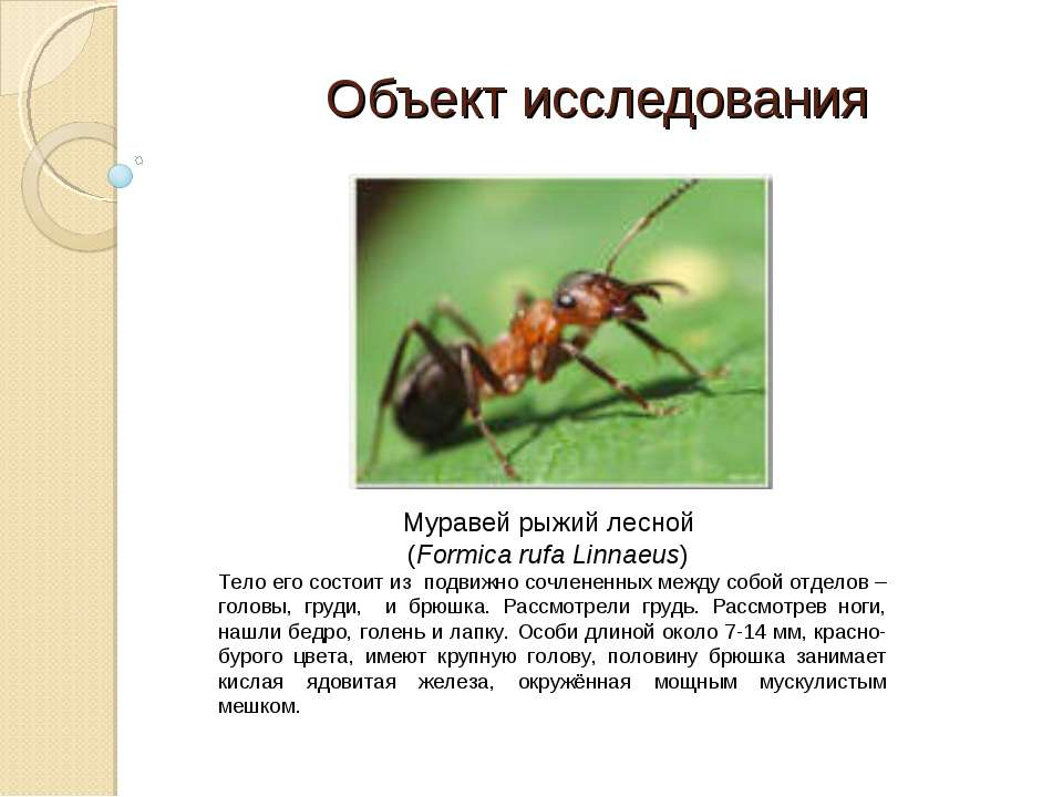 Рыжие муравьи в доме