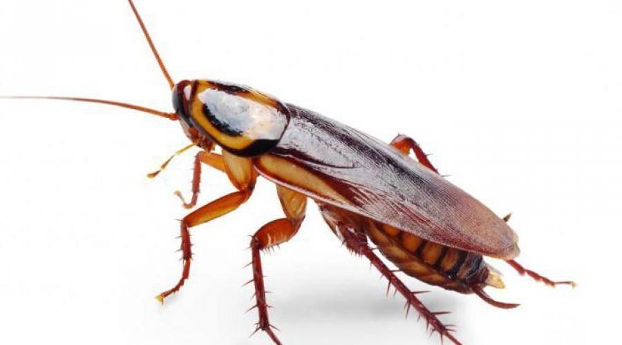 Шахматный таракан – природа тоже играет в шахматы