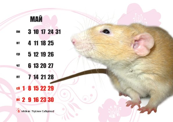 """Как пищат и """"разговаривают"""" крысы, значение издаваемых звуков - kotiko.ru"""