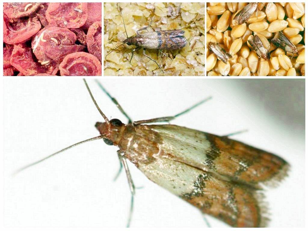 Пищевая моль: личинки, как выглядит, вред для человека