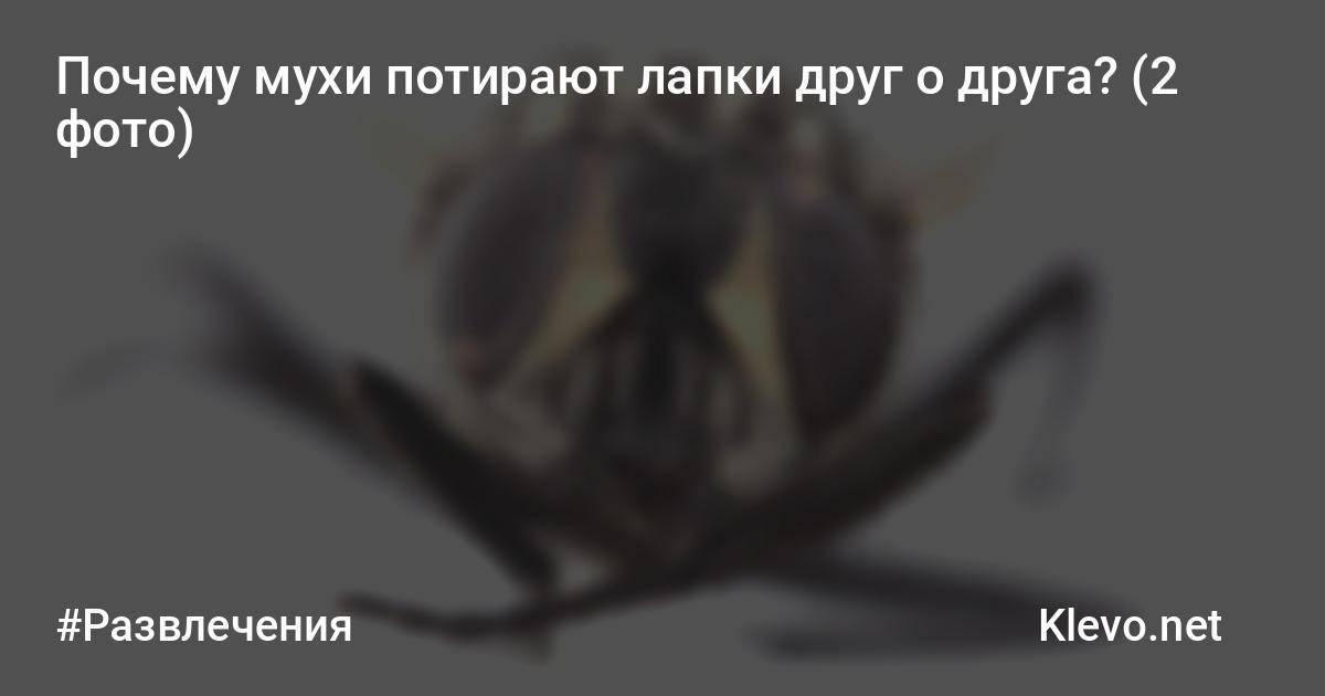 Почему мухи трут свои лапки. зачем муха потирает лапки? почему мухи потирают лапкой о лапку