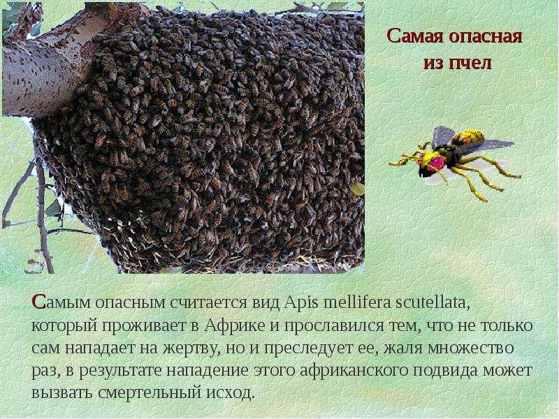 """Презентация на тему: """"интересные факты о пчелах. о о дним из немногих насекомых, которое сотрудничает с человеком, является пчела. вот несколько интересных фактов, связанных."""". скачать бесплатно и без регистрации."""