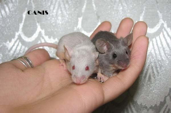 По каким признакам можно отличить мышь от крысы