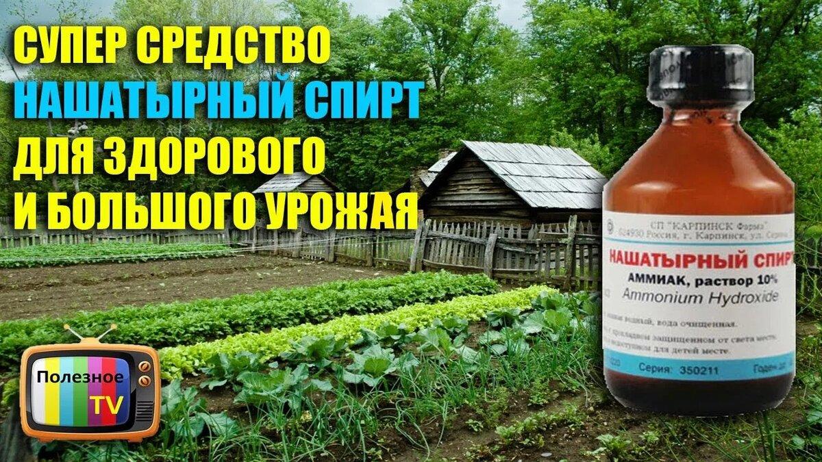 Полезный для растений нашатырный спирт от муравьев на огороде