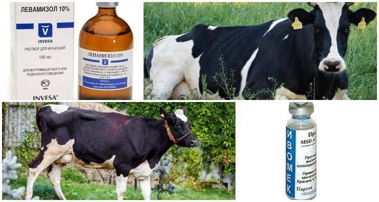Как вывести вшей у коров: что делать, чем лечить
