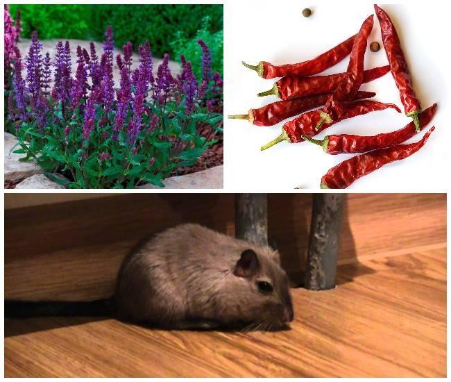 Какая трава поможет отпугнуть крыс и мышей?