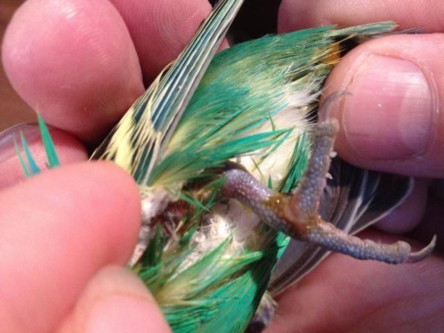Блохи у волнистых попугаев: бывают ли и как вывести (лечение)