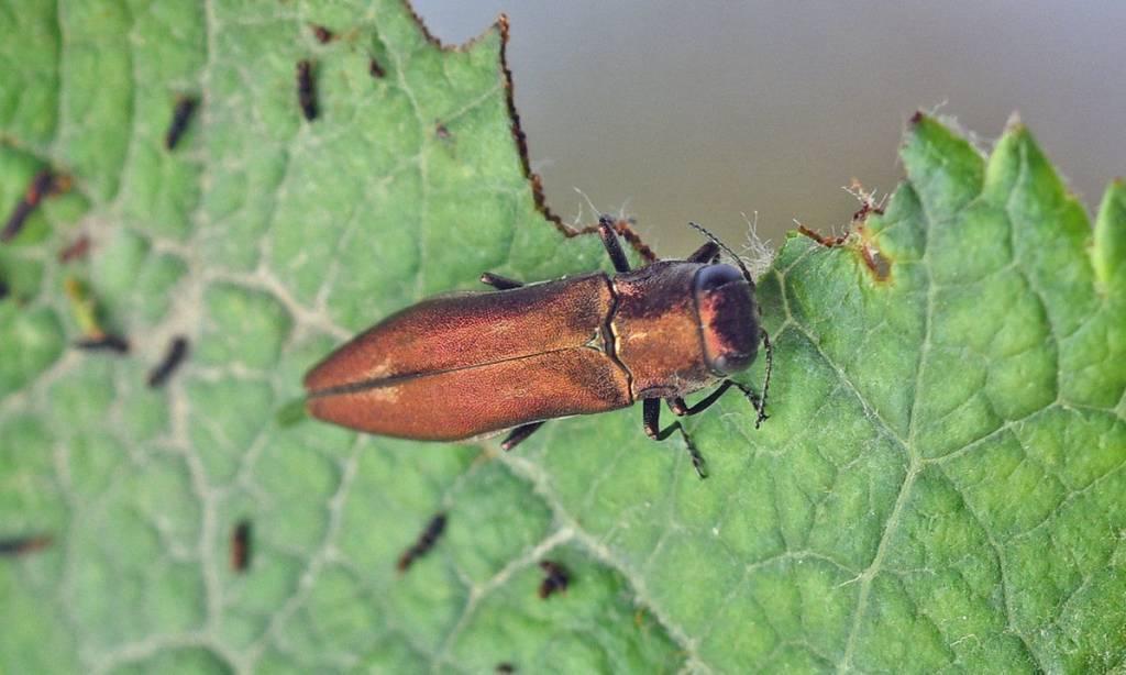 Чернозлатка: внешний вид и жизненный цикл развития насекомого